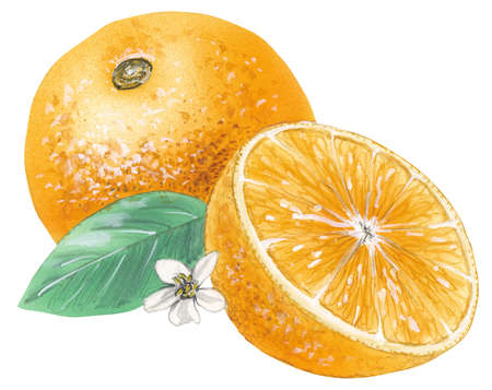 Stock Illustration - Navel orange