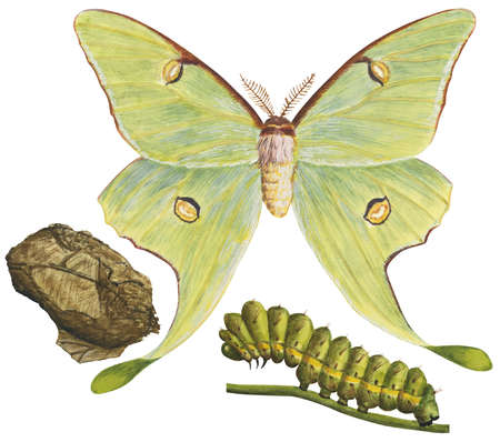 Luna moth scientific illustration - photo#24