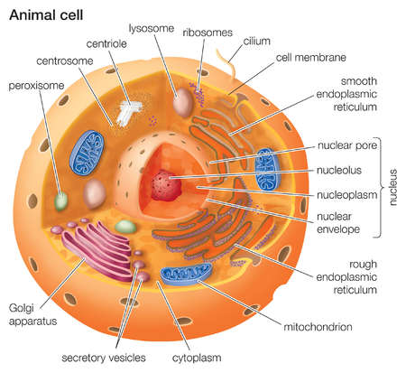 Cross Section Of An Animal Cell http://www.illustrationsource.com/stock/image/481408/cutaway-drawing-of-a-eukaryotic-animal-cell/